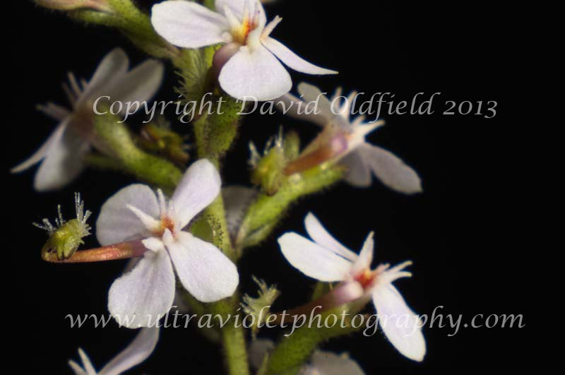 Attached Image: Stylidium_graminifolium_Vis.jpg