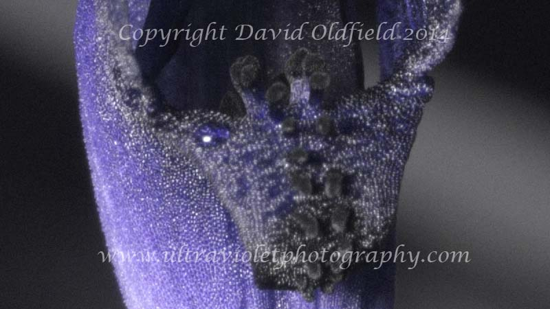 Attached Image: Cyanicula_caerulea_UV_Extract.jpg