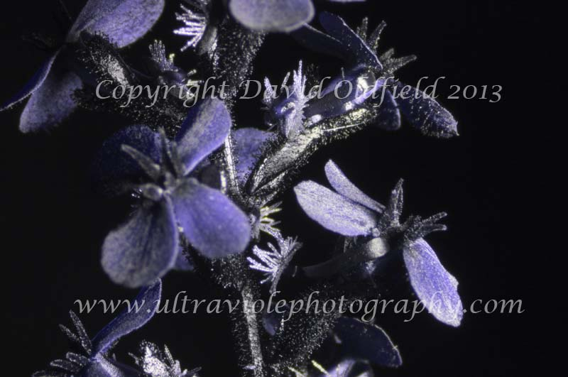 Attached Image: Stylidium_graminifolium_UV.jpg