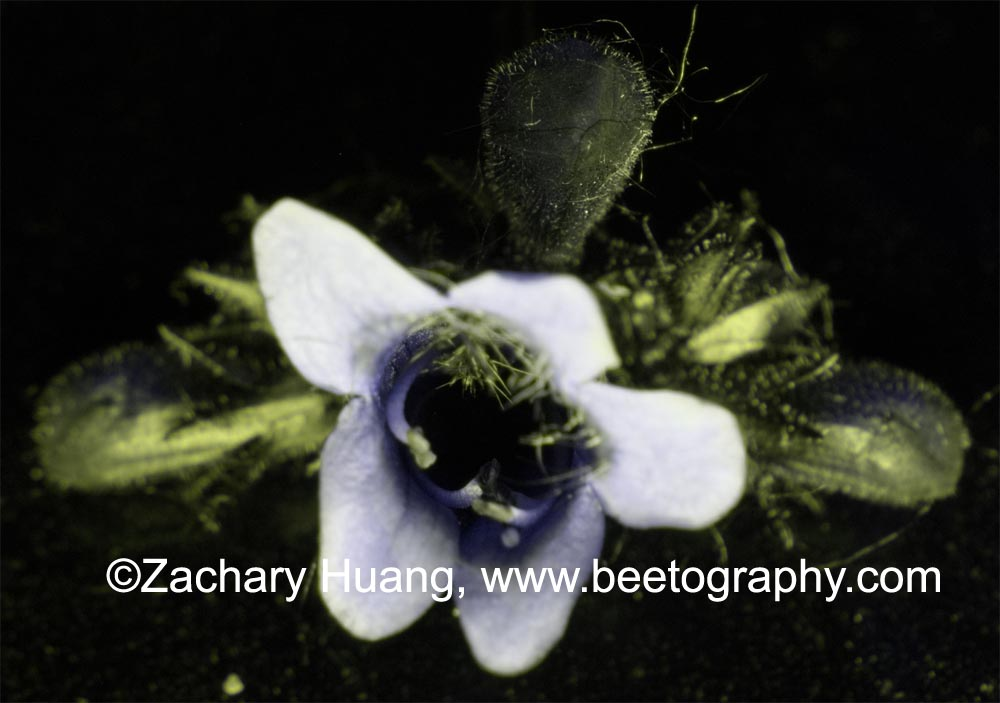 Attached Image: Penstemon-UV.jpg