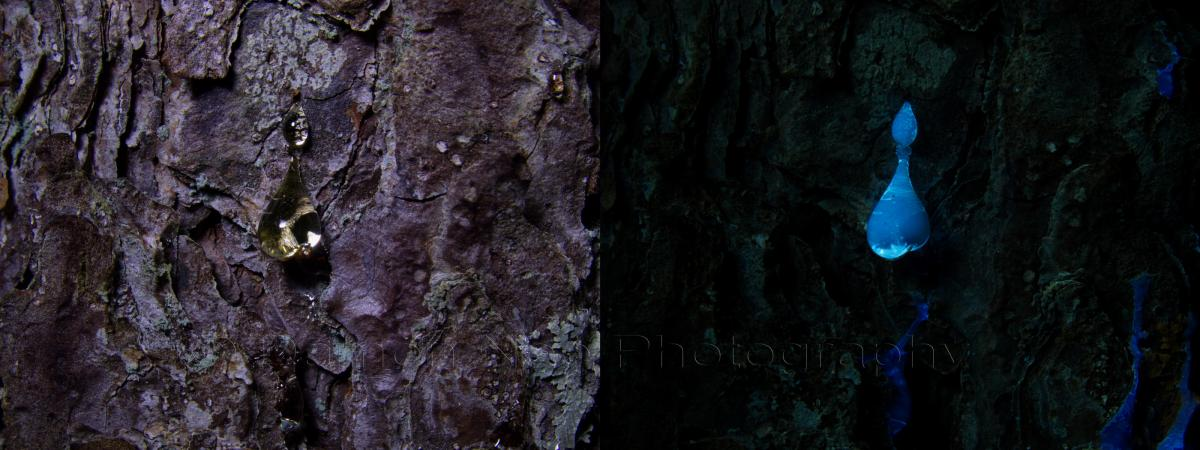 Attached Image: Pitch Pine Sap_Visible & UV_Induced Fluorescence©DNoe_resize.jpg