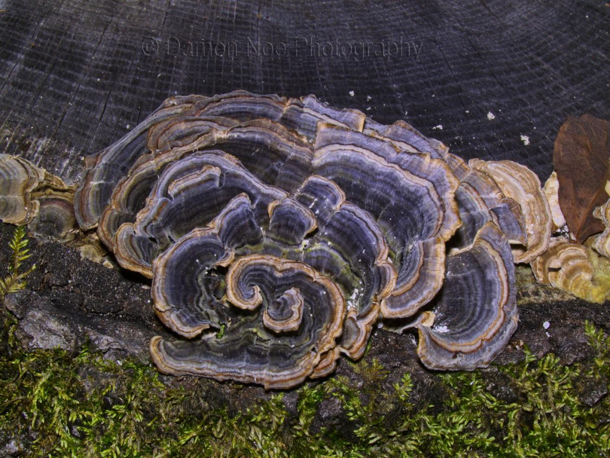 Attached Image: TurkeyTail_Visible Light_©DNoe_resize.jpg