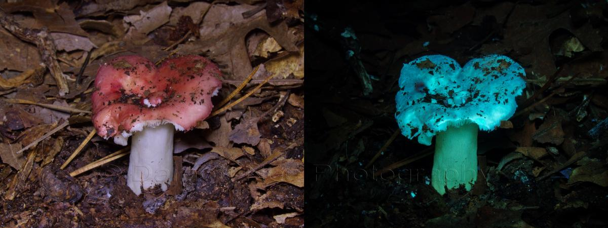 Attached Image: Russula emetica_Visible light & UV Induced Fluorescence©DNoe_resize.jpg