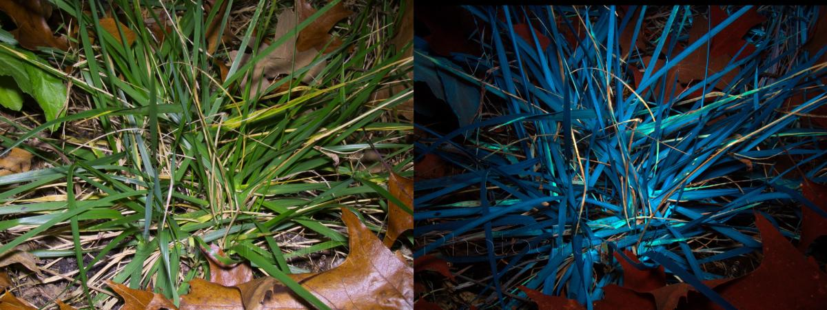 Attached Image: Grass spp_Visible & UV_Induced Fluorescence©DNoe_resize.jpg